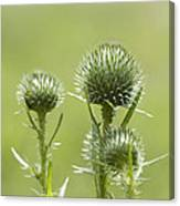 Bull Or Spear Thistle Buds- Cirsium Vulgare Canvas Print