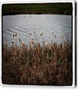 Bull Rushes And Swans Canvas Print
