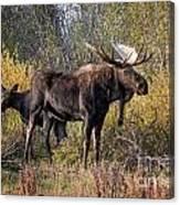 Bull Tolerates Calf Canvas Print