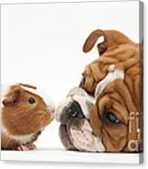 Bulldog Pup Face-to-face With Guinea Pig Canvas Print