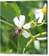 Bumble Bee 1 Canvas Print