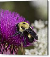 Bumble Bee And Bristle Thistle Canvas Print