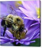 Bumble Bee And Fall Aster Canvas Print