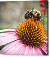 Bumble Bee Feeding On A Coneflower Canvas Print