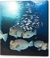 Bumphead Parrotfish Canvas Print