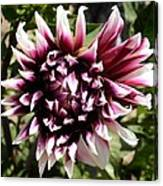 Burgundy And White Dahlia Canvas Print