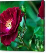 Burgundy Iceberg Rose Canvas Print