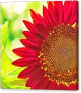 Burgundy Sunflower Canvas Print
