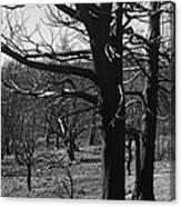 Burned Trees Canvas Print