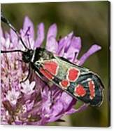 Burnet Moth Canvas Print