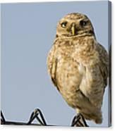 Burrowing Owl On Fence Alviso California Canvas Print