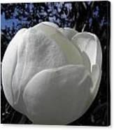 Bursting Magnolia Canvas Print