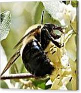 Busy As A Bee Canvas Print