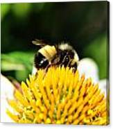 Busy Bee Collecting On Echinacea Pow Wow Canvas Print