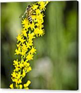 Busy Bee On Yellow Wildflower Canvas Print