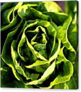 Buttercrunch Lettuce From Above Canvas Print
