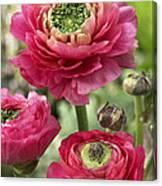 Buttercup Ranunculus Sp Mirabelle Vert Canvas Print