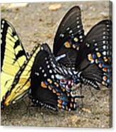 Butterflies By The Buches Canvas Print