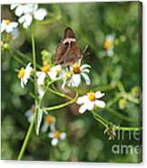 Butterfly 24 Canvas Print