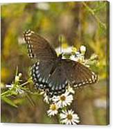 Butterfly 3325 Canvas Print