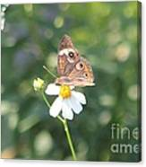 Butterfly 42 Canvas Print