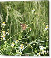 Butterfly 6 Canvas Print