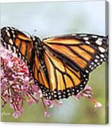 Butterfly Beauty - Monarch IIi Canvas Print