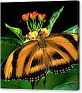 Butterfly Dryadula Heliconius Feeding Canvas Print