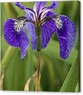 Butterfly Iris (iris Spuria) Canvas Print