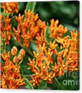 Butterfly Milkweed Canvas Print