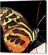 Butterfly On Finger Canvas Print