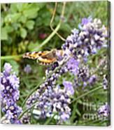 Butterfly On Lavendula Canvas Print