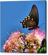 Butterfly On Mimosa Blossom Canvas Print