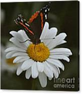 Butterfly On Shasta Daisy Canvas Print