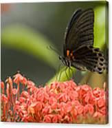 Butterfly Papilio Memnon Feeding Canvas Print