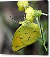 Butterfly - Yellow Sulphur On Yellow Canvas Print
