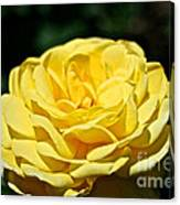 Buttery Rose Canvas Print