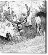 Bw Mule Deer Canvas Print