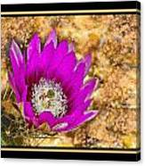 Cactus Flower 4 Canvas Print