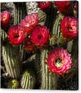 Cactus With Red Flowers Canvas Print