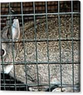 Caged Rabbit Canvas Print