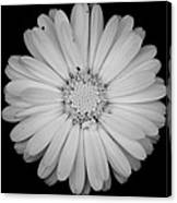 Calendula Flower - Black And White Canvas Print