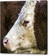 Calf Portrait Canvas Print