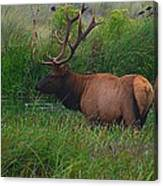 California Elk 0117h Canvas Print