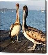 California Pelicans Canvas Print