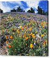 California Poppies And Lupins On A Hill Canvas Print