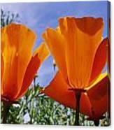 California Poppies Eschscholtzia Canvas Print