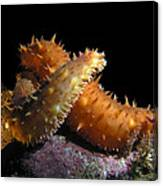 California Sea Cucumber Love Canvas Print