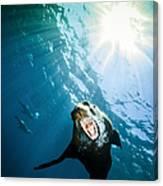 California Sea Lion, La Paz, Mexico Canvas Print