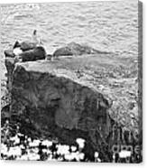 California Sea Lions Black And White La Jolla Shores San Diego  Canvas Print